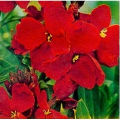 wallflower blood red chieranthus cheiri appx 600 seeds