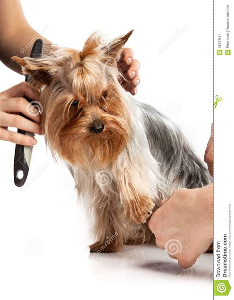 bathing a yorkie puppy grooming terrier with a comb on white stock images image 38117514