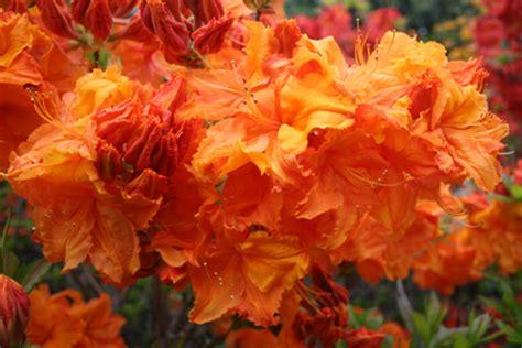 deciduous azalea giant orange