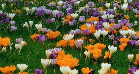 fiore crocus il mondo in un giardino fioriscono i crocus