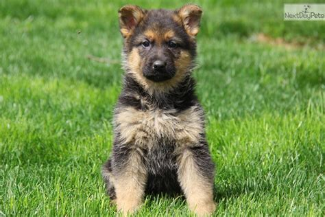 german shepherd puppies near me puppies available for adoption near me pets world