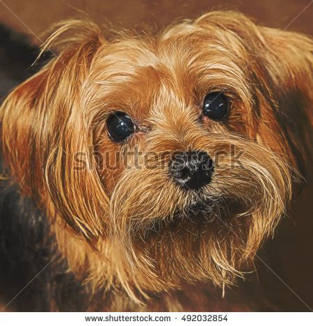 white and brown yorkie stock images royalty free images vectors