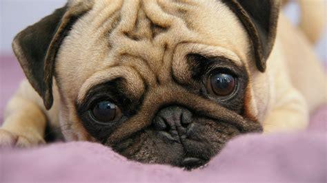 full hd wallpaper pug sadness cute desktop backgrounds hd