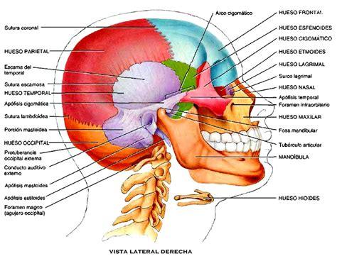 imagenes de huesos temporales anatom 237 a del cr 225 neo