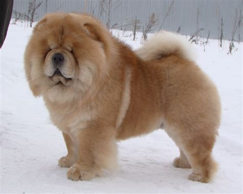 Do Chows Shed by Lav Top Me Do Quot Duchik Quot Chow Chow Kennel