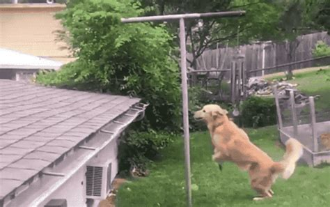 roof jumping dog huckleberry startles passersby breaking news dog sits on roof surprises passersby