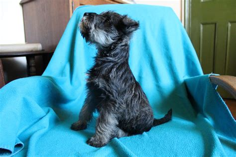 schnauzer puppies for sale in miniature schnauzer puppies for sale hexham northumberland pets4homes