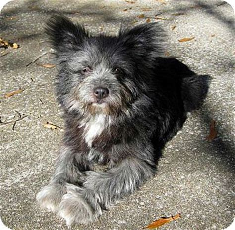 cairn shih tzu mix ewok adopted salem nh shih tzu cairn terrier mix