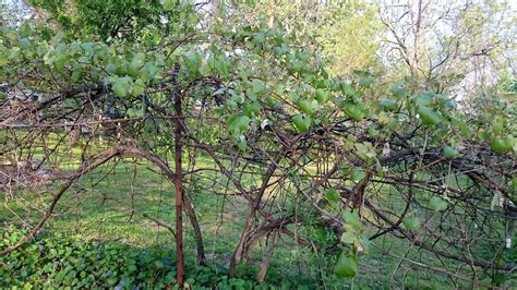 growing seedless grapes stark bro s