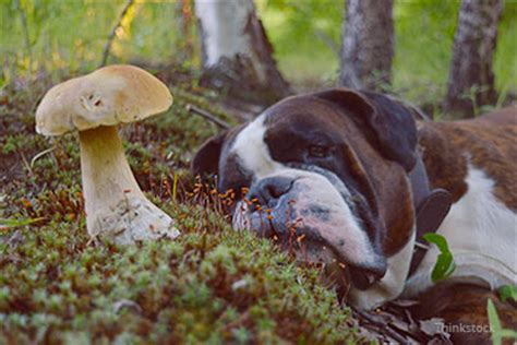 are mushrooms poisonous to dogs dogs and mushrooms are they poisonous