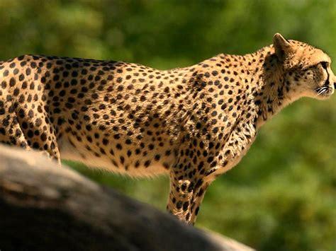 imagenes de animales rapidos loquendo los 10 animales mas rapidos del mundo youtube