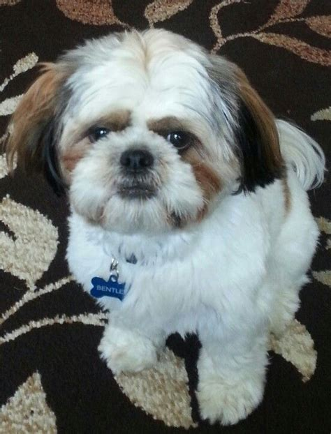 list of shih haircut 2329 best images about shih tzu luv on pinterest little