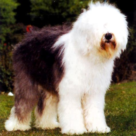 imagenes pastor ingles una gran raza bobtail viejo pastor ingles dog blog