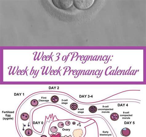Pregnancy Week Calendar Week 3 Of Pregnancy Week By Week Pregnancy Calendar