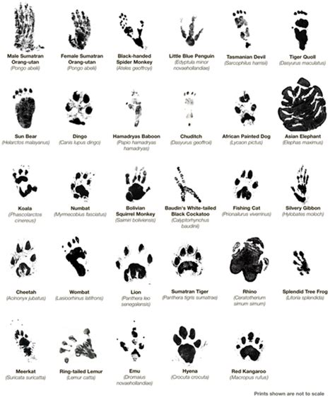 printable animal tracks identification animal tracks group totem talk