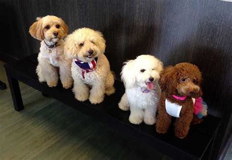 dogs oodle singapore oodle outing cavoodle puppies myoodle myoodle