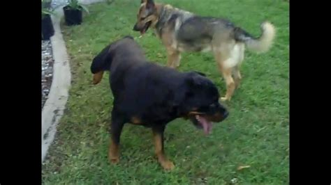 rottweiler vs german shepherd real fight rottweiler vs german shepherd fight www imgkid the image kid has it