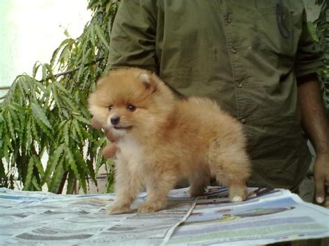 mini pomeranian for sale in hyderabad pomeranian puppies for sale yousuf khaja 1 11342 dogs for sale price of puppies
