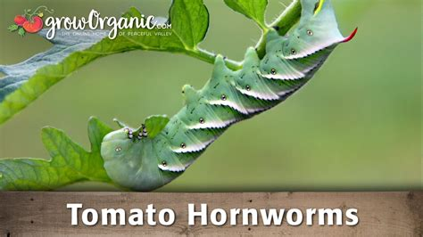 how to get rid of tomato hornworms youtube