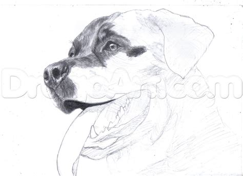 how to draw a rottweiler how to draw a realistic rottweiler step by step pets animals free drawing