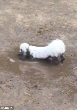 white poodle rolls around in mud turning fur brown in usa