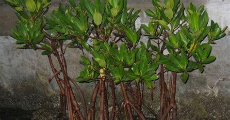 Jual Bibit Cabai Di Bali jual bibit mangrove bakau berkualitas jual bibit mangrove di bali