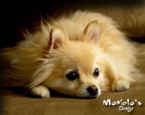pomeranian en espanol criadero de pomeranian en guadalajara perros pomerania en guadalajara pomeranian mexico