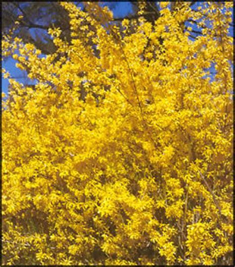 fiori gialli primaverili piante fiori giardinaggio e tecniche di potatura