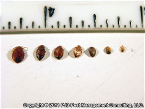 size of a bed bug bed bug photos