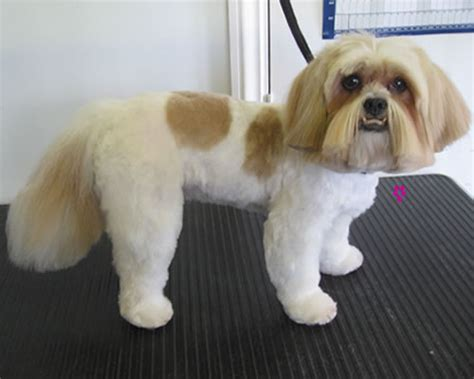 groom a shih tzu grooming gallery precious paws