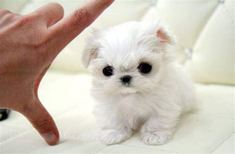 cheap teacup puppies for sale near me free maltese puppies for sale hairstylegalleries