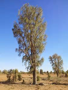 tree australian the waddi tree acacia peuce is found only in three