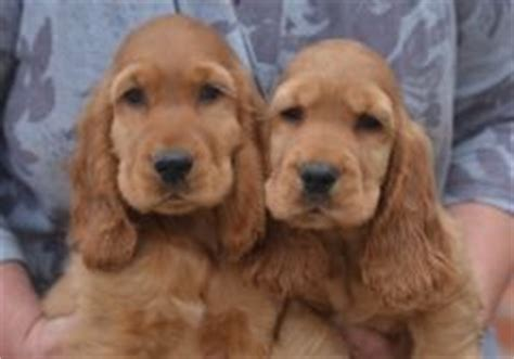 golden retriever for sale northern ireland 17 bedste id 233 er til golden cocker spaniel p 229