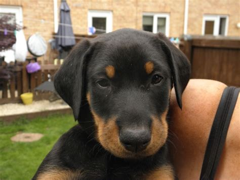 doberman rottweiler mix puppies for sale rottweiler doberman mix puppies for sale breeds picture