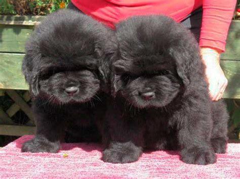 newfoundland puppies colorado newfoundland puppies homepage