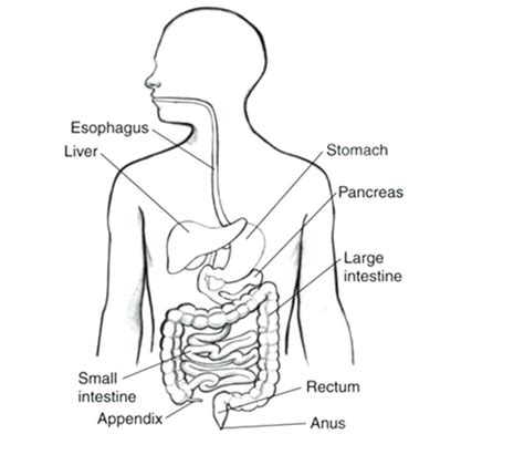 blank digestive system diagram simple stomach diagram world of diagrams