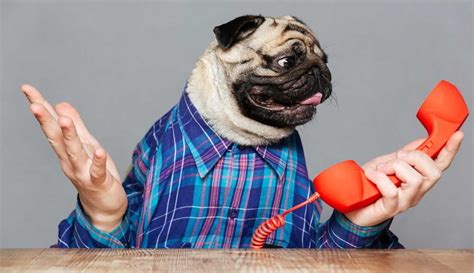 why are pugs called pugs 10 reasons pugs are great family pets pugs purely pugs