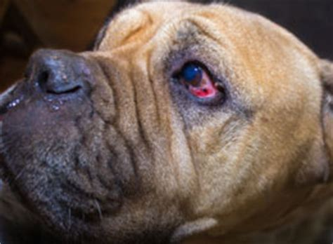 eye infections in dogs eye infection