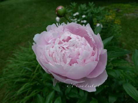 top 28 do peonies smell patina the smell of peonies