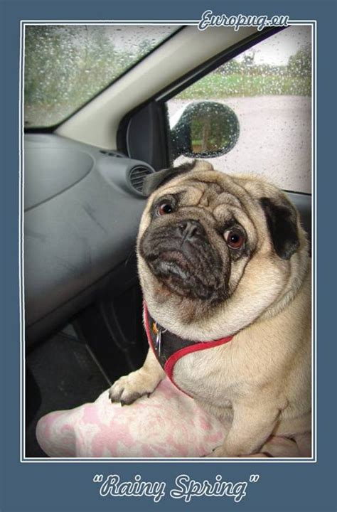 pugs in the car pug in the car