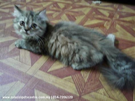 Jual Hair Dryer Untuk Kucing anak kucing parsi untuk di jual zul azizi boarding pets