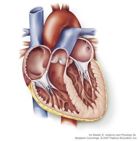 coronal section of heart evelyn pence illustration medical and biological