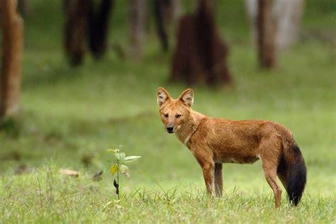 ajag anjing hutan asli indonesia alamendahs blog