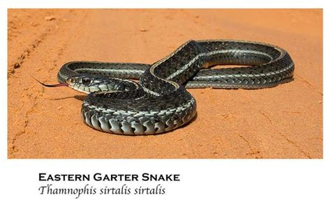 Garter Snake Alabama by 50 Snakes You Might Come Across In Alabama Al