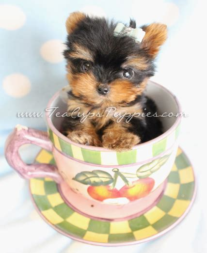 cup yorkies for sale tiny teacup yorkie puppy by teacupspuppies teacup yorkies yorkie puppies