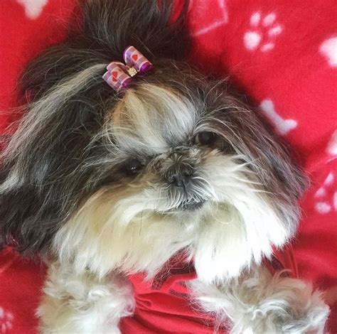 puppy shih tzu names pin name shih tzu on