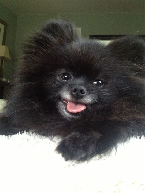 black teddy pomeranian puppies 256 best images about pomeranians the cutest dogs on teddy