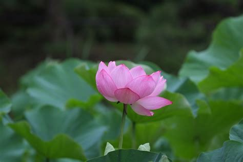 bagus   gambar bunga seroja gambar bunga hd
