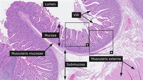 Transverse Section Of Small Intestine by Transverse Section Of Human Stomach Human Anatomy Chart
