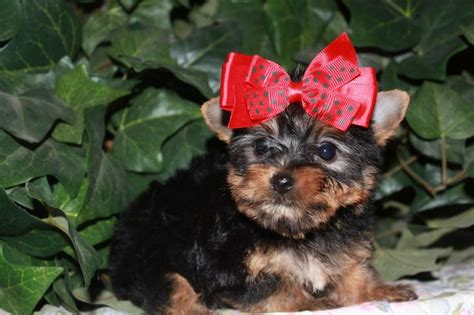 teacup yorkies for sale in california teacup yorkie puppies sale california breeds picture
